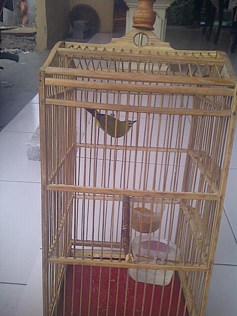 Jual Borongan Burung, Ciblek Kristal, Ciblek Semi, Pleci