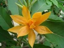 101+ Gambar Bunga Jeumpa Paling Cantik