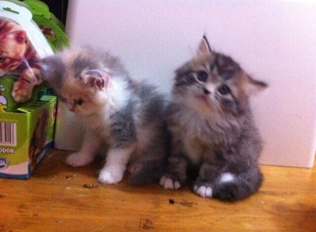 Kitten for adopt (dijual kitten/ anak kucing)white solid,delute calico, 3warna jantan