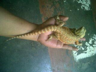 Bearded Dragon LB