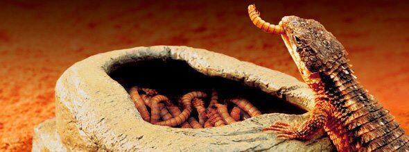 WTS; Worm dish exo - terra small & large untuk reptile gecko ular varanus