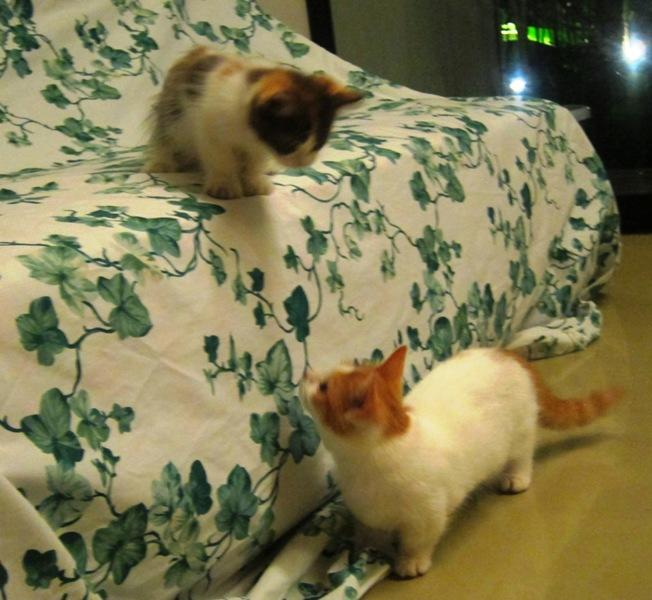 Pecinta Kucing Munchkin Kucing Kate Kumpul Disini