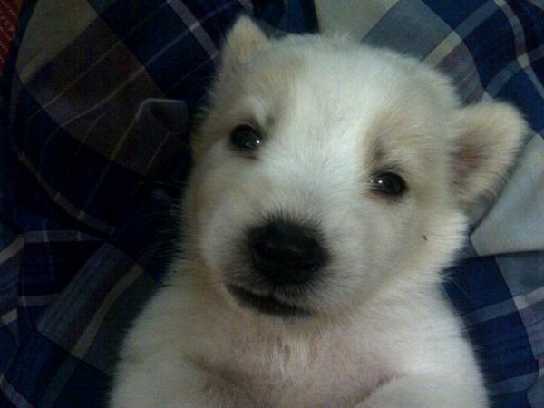 jual anak anjing mini russel bandung