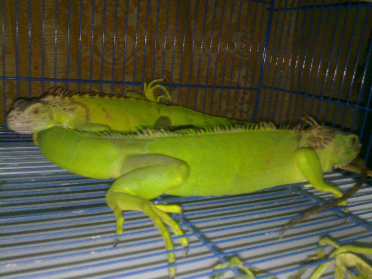 green + super red iguana murah