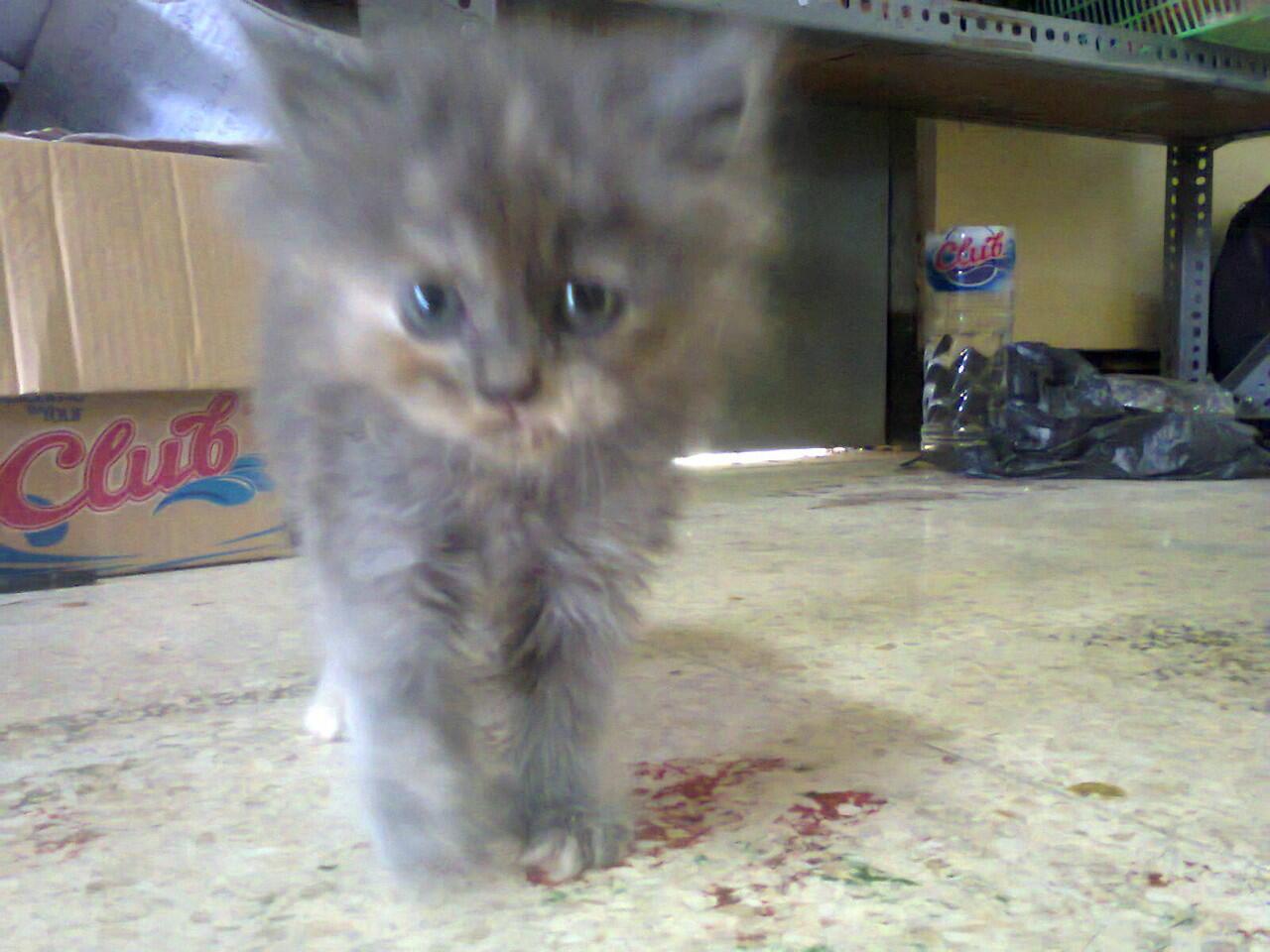 Kucing Anakan Persia Betina Lucu