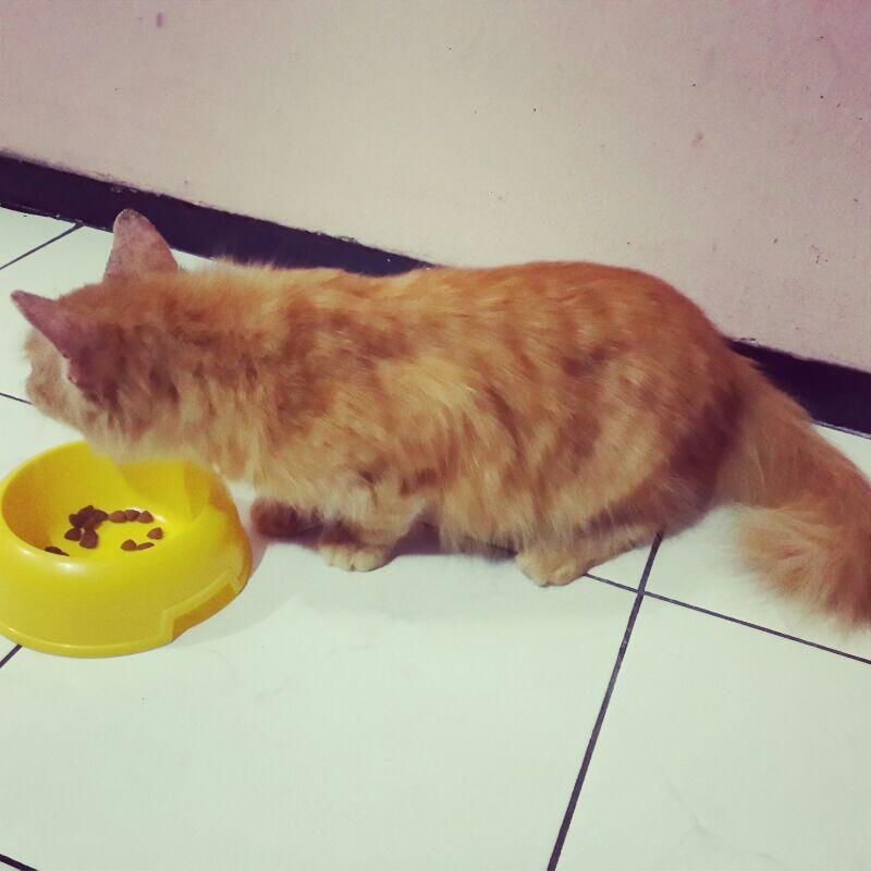 Kucing Persia Medium - Red Tabby - Jantan - 8 Bulan