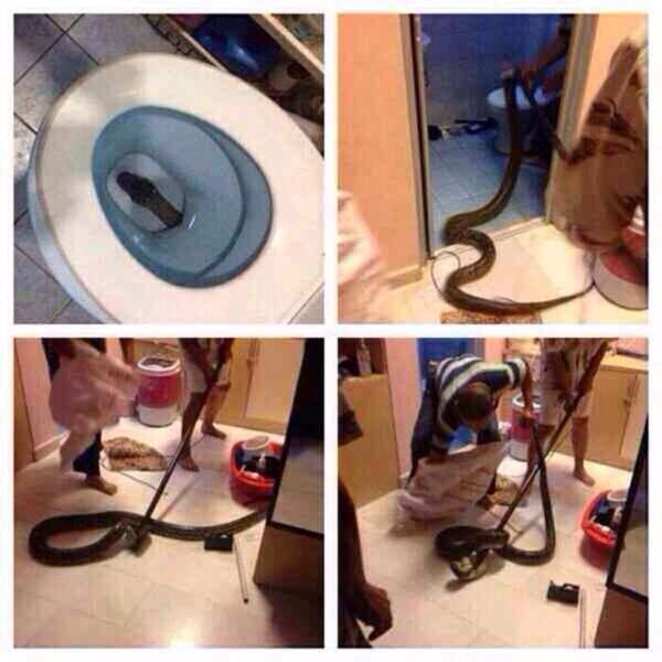 Ular guedee keluar dari toilet duduk dimusim banjir
