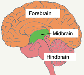 Aktivasi Otak Tengah.. Beneran Gak Tuh?