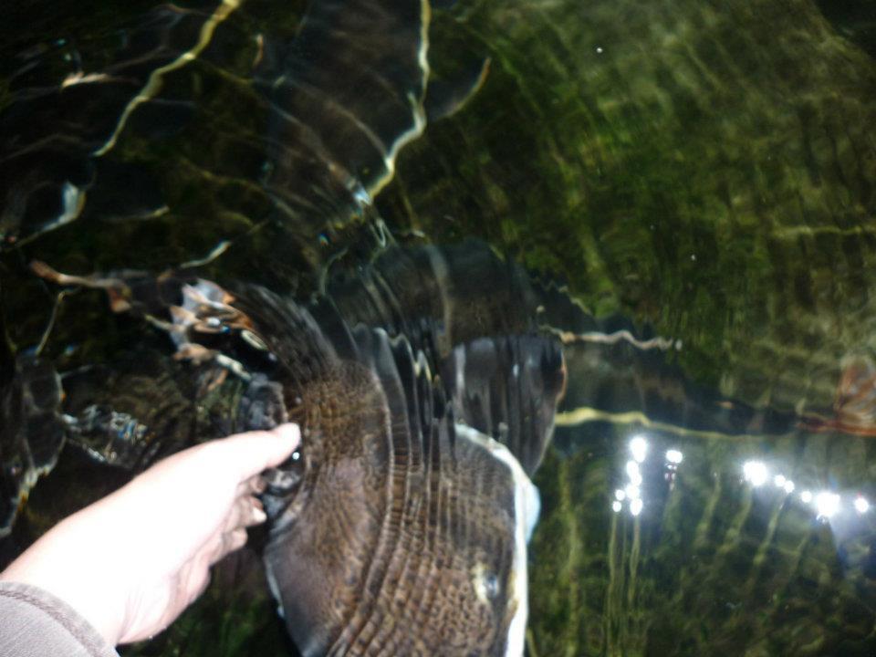 Ikan Red Tail Catfish uk 50cm-60cm Yogyakarta
