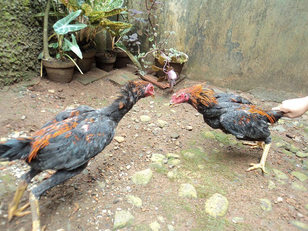 Ayam Bangkok jonggol bogor