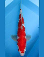 ikan koi HQ murah koleksi pribadi