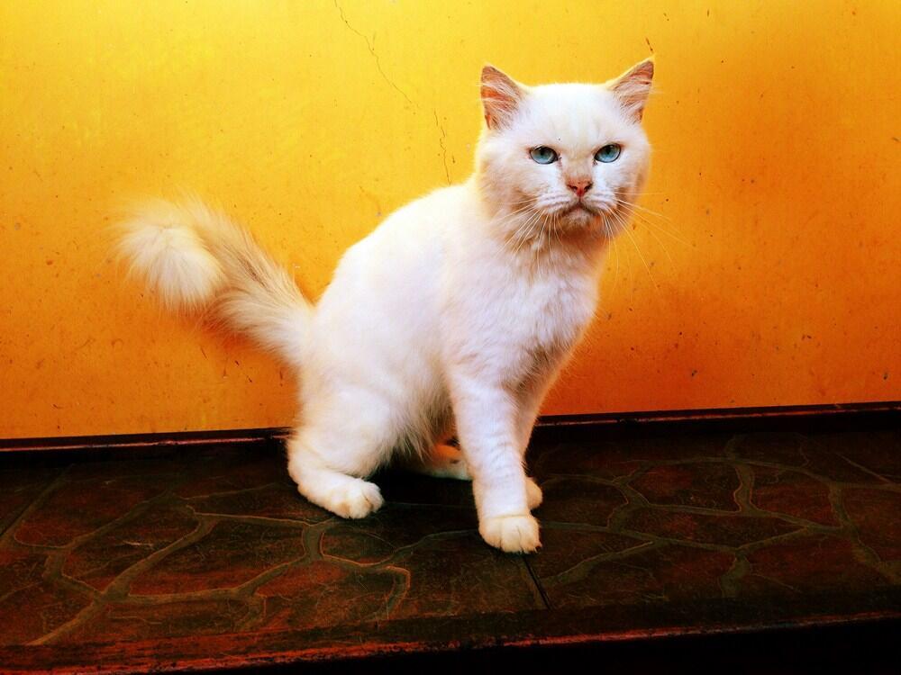 Kucing Persia mix Himalaya Jantan Semarang