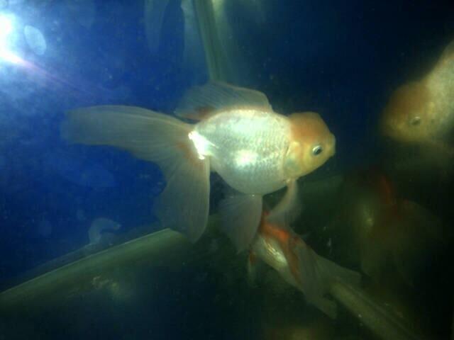 ikan koki oranda RW