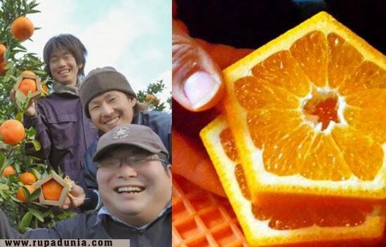 [UNIK] Jeruk berbentuk segilima di Jepang!