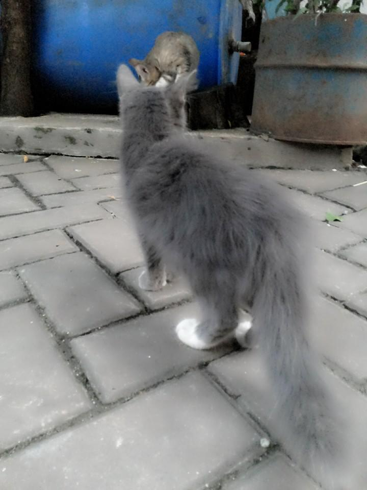 3 KITTEN FUNNY PERSIA MIX ANGGORA - LH & SH -