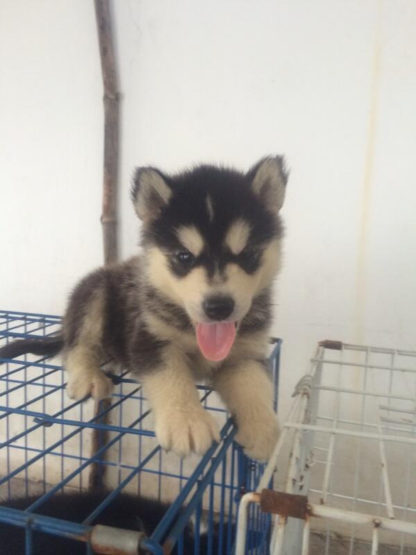 8 newborn siberian husky FOR SALE!! Super cute!!!