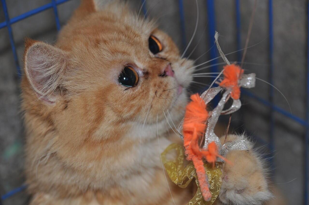 For adopt persia flatnose mirip GARFIELD