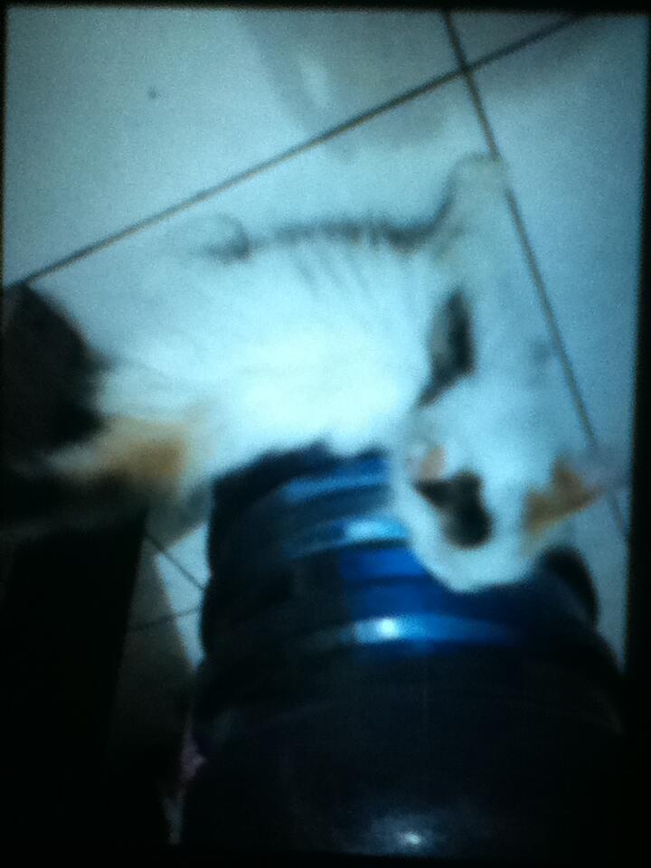 Kitten Betina Calico Banyak BONUSS !!!