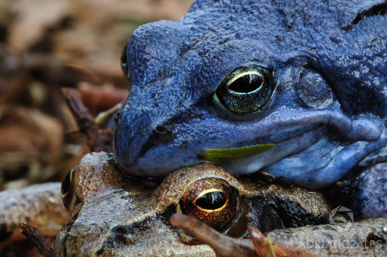 5 Hewan Berwarna Biru yang Menakjubkan