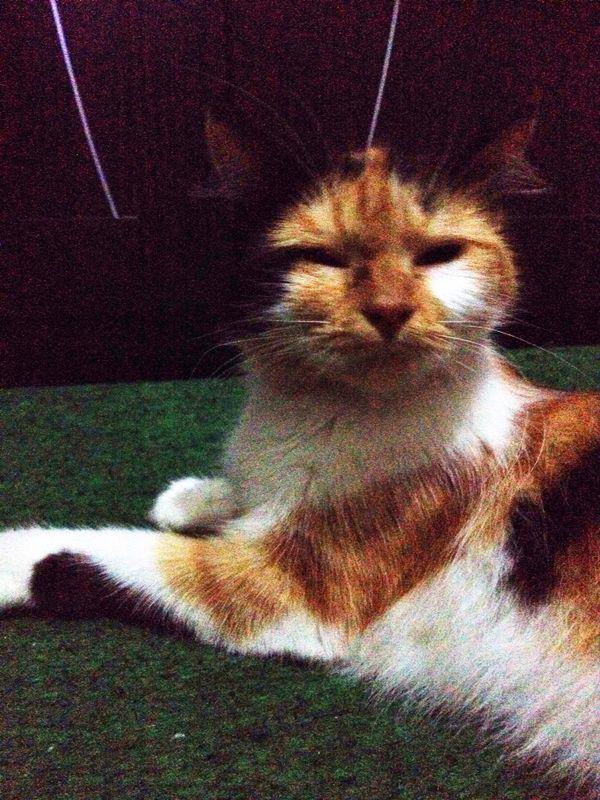 Download 94+  Gambar Kucing Anggora Betina Terbaik Gratis