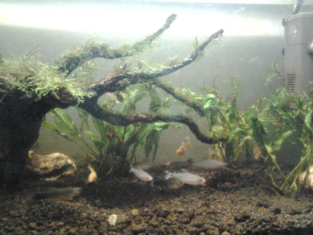 kayu aquascape jenis rosmala dan di ikat dengan moss Fisiden harga ok