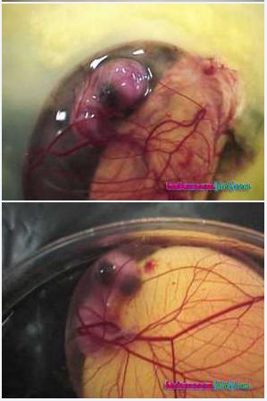 Inilah Foto Foto Proses Terjadinya Anak Ayam Dalam Telur