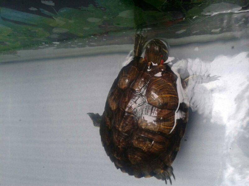 Para Kura-kura atau/dan Penyu Kecil nan mungil ini bisa bikin agan tersipu malu!