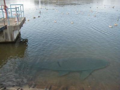 Ikan-ikan teraneh dan terbesar
