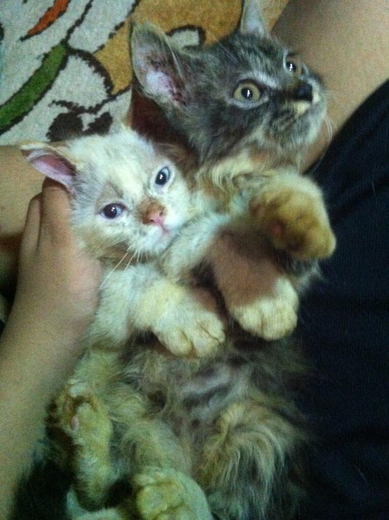 Anakan Kucing Persia[medium nose] X Anggora 2 1/2 bln Sehat Lucu Bandel