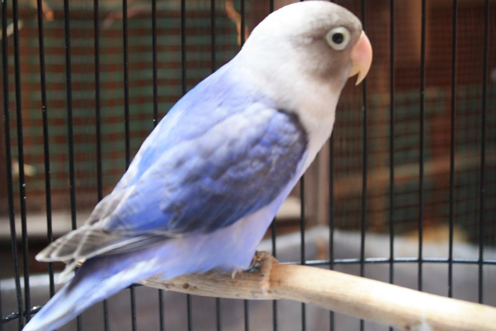gambar macam jenis burung lovebird bulu indah beserta