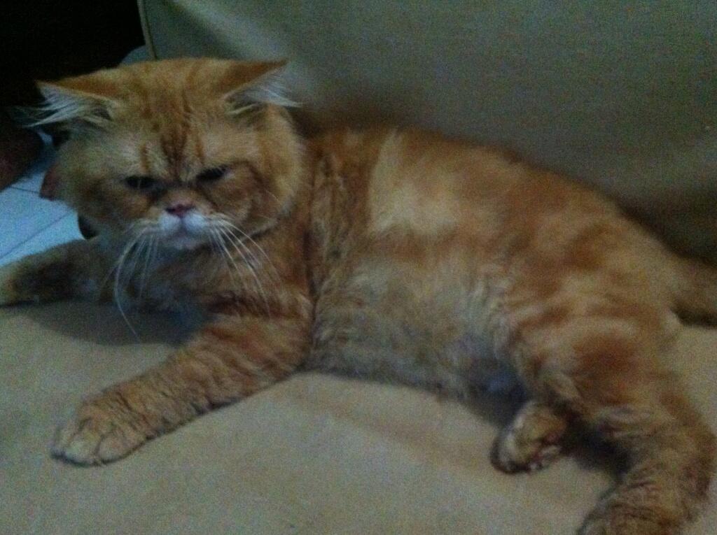 Kucing Kitten Persia [medium nose] x Anggora 2 1/2 bulan Sehat Lucu Bandel