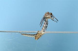 Keajaiban Dibalik Penciptaan Nyamuk !!
