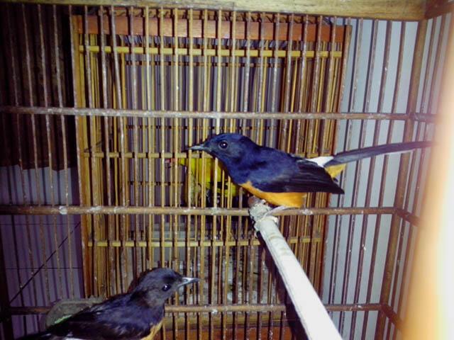 Terjual Dijual Sepasang Burung Murai Gacor Siap Tangkar