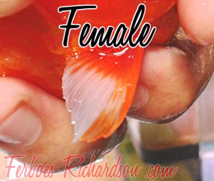 Download 6200 Koleksi Gambar Perbedaan Ikan Mas Jantan Dan Betina Terpopuler