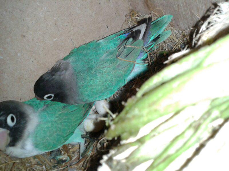 burung love bird indukan & kenari indukan borong