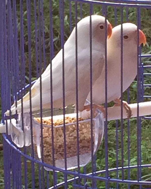 terjual lovebird surabaya albino lutino mata merah 4 bulan