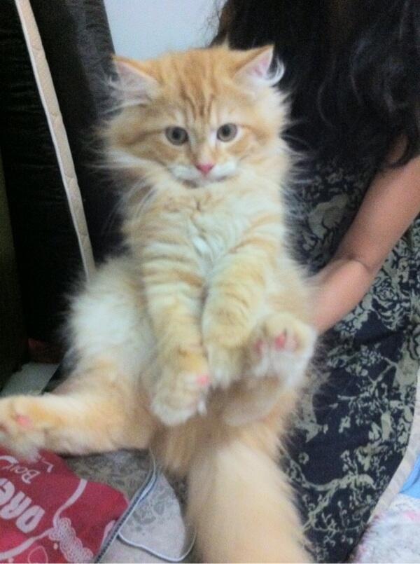 Unduh 76+  Gambar Kucing Anggora Dan Harga Paling Imut