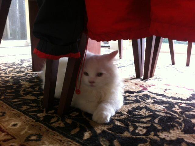 kucing persia medium 5 bulan