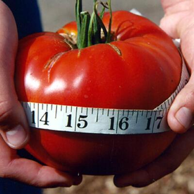 Jual Benih Tomat Impor Murah Meriah Serba Lima Ribu :D