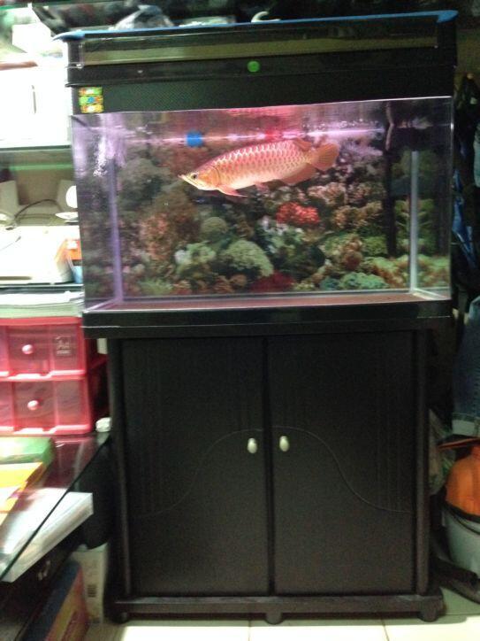 Terjual Dijual Ikan Arwana Super Red Aquarium 80cm