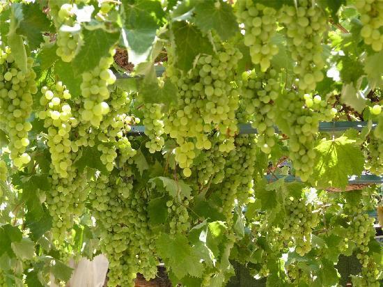 76+ Gambar Tumbuhan Anggur Paling Keren