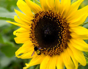 jual Bermacam jenis Bibit Bunga Matahari( sunflower seed) autumn beauty, hopi, mammot