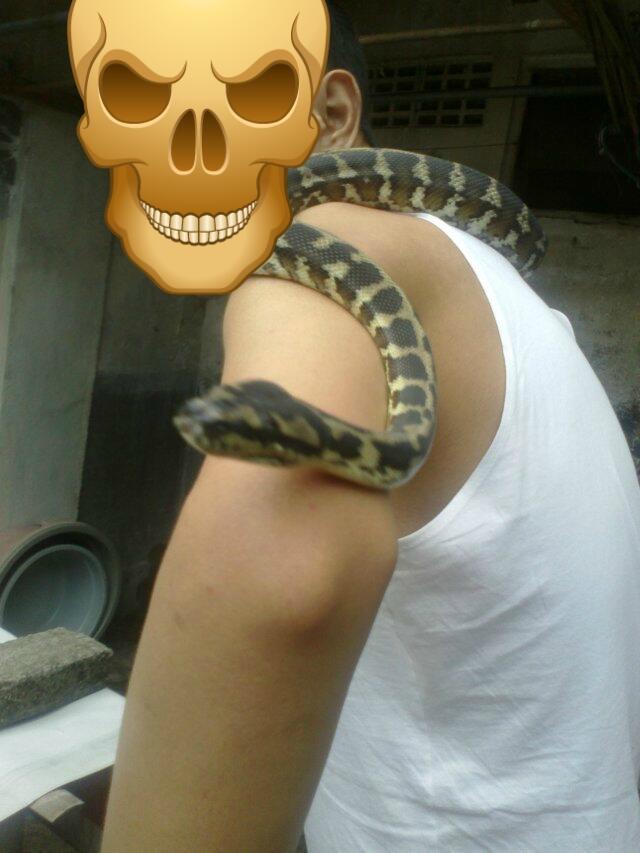 Retic Borneo, Molu Dwarf, Carpet Python Stripe (edisi pensiun main reptile)