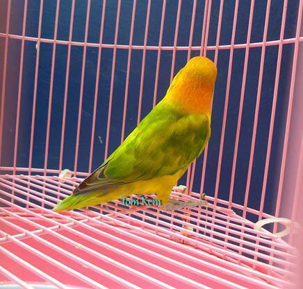 Lovebird GS betina sudah ngeper