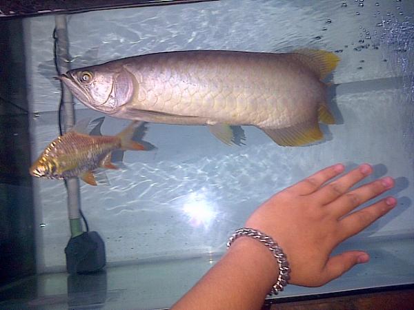 Arwana Banjar Red 50cm