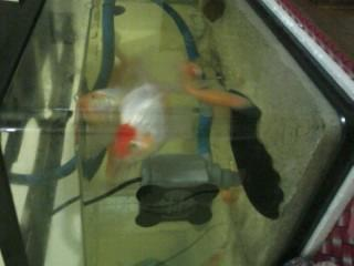 pensiun aquarium : 5 ikan koki, 1 blackghost, dan baannnyyaakkk bonus...