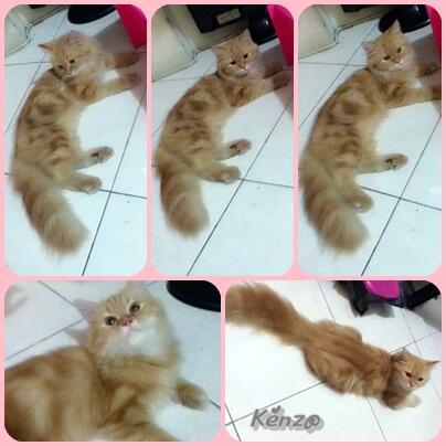 Kitten Persia Longhair, Badan Coby, Lucuu Mumerr