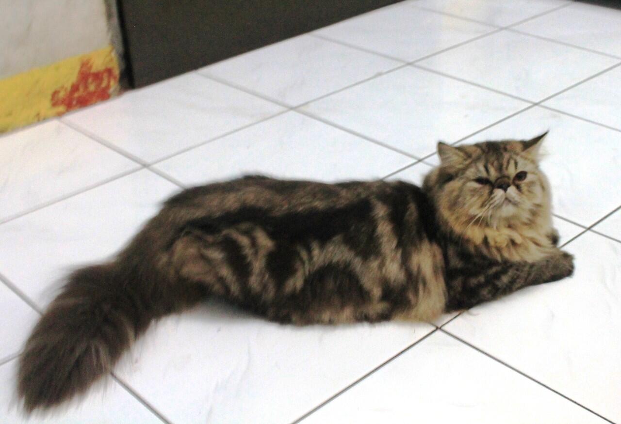 Terjual Kucing Persia Kitten Amp Calon Indukan Murah Amp Lucu