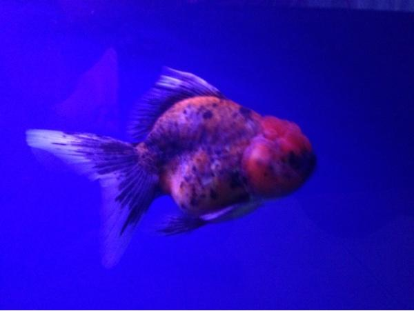 Terjual For sale oranda callico goldfish show quality