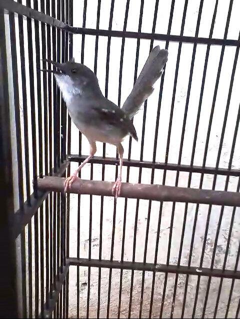 jual burung kacer kaskus   harga c